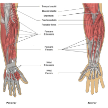 Upper Limb Joints
