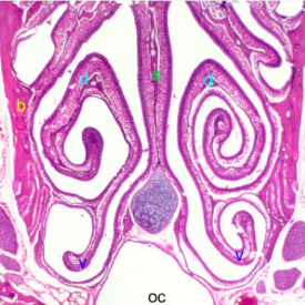 Histology of Nasal Cavity