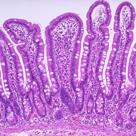 Histology of Small Intestine