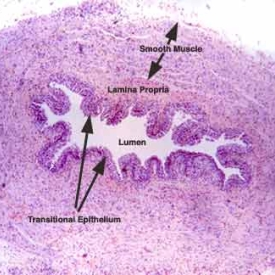 Histology of Male Urethra